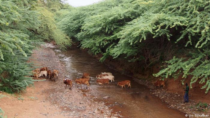 Livestock crown over a stream in Baringo County, Kenya.