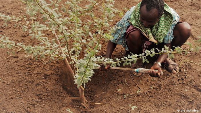 A man removes a mathenge tree in Kenya
