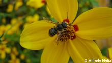 Guatemala Bienenhotel Biene auf Blume