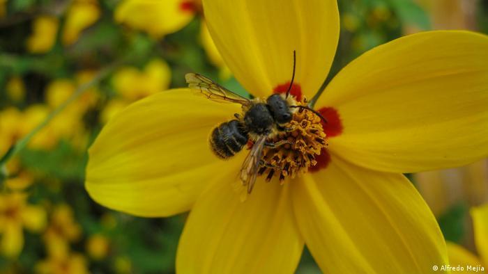 Abeja sobre flor amarilla.