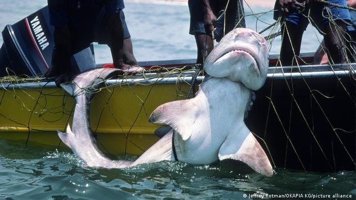 A beach shark caught in anti-shark net off Durban