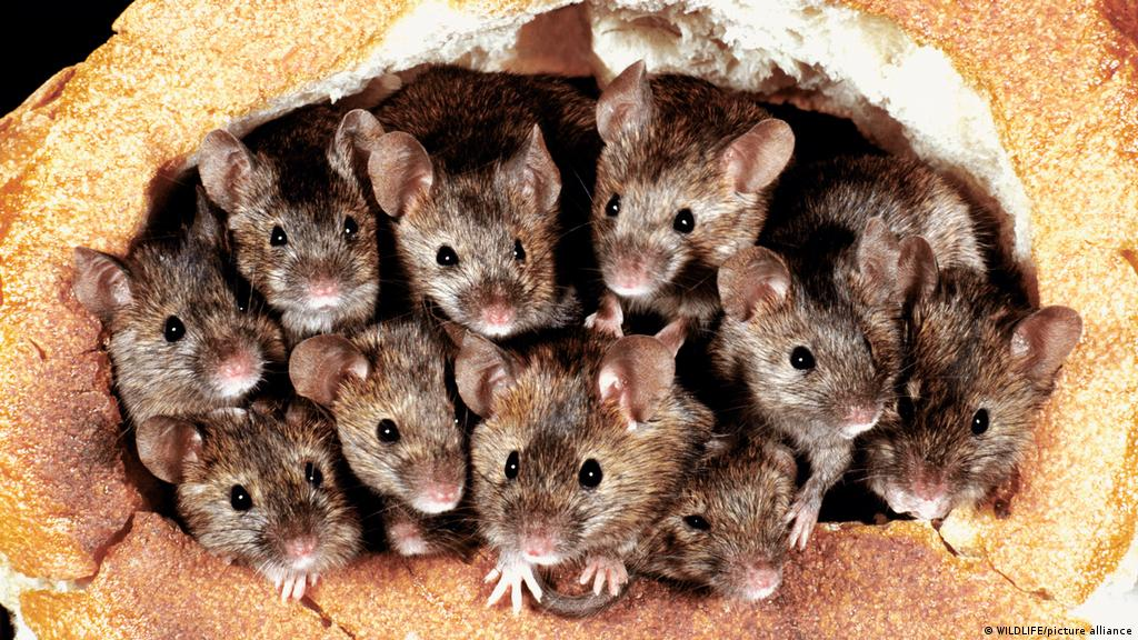 Australia: ′Plague′ of mice ravages New South Wales   News   DW   19.03.2021