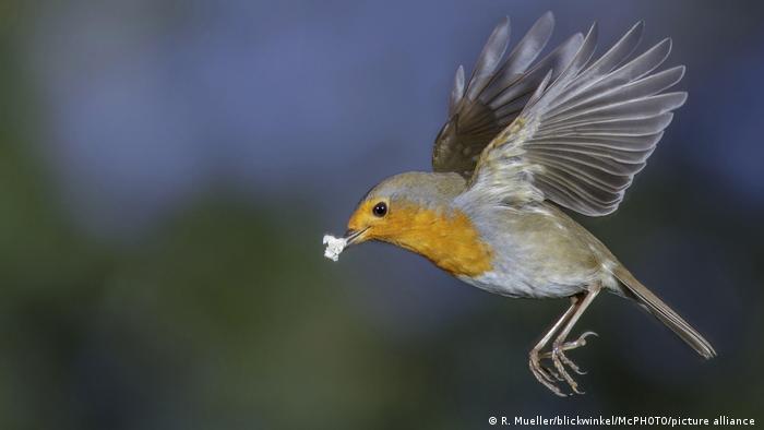 Rotkehlchen, Vogel des Jahres 2021