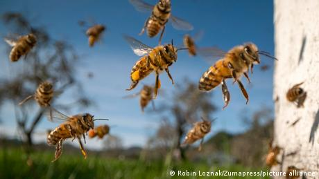 Honey bees hovering in the air