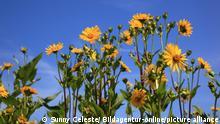 BdT Becherpflanze