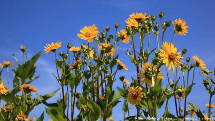 Planta de copa (Silphium Perfoliatum).