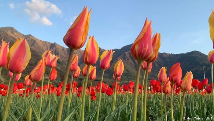 Indien Tulpen-Garten in Srinagar