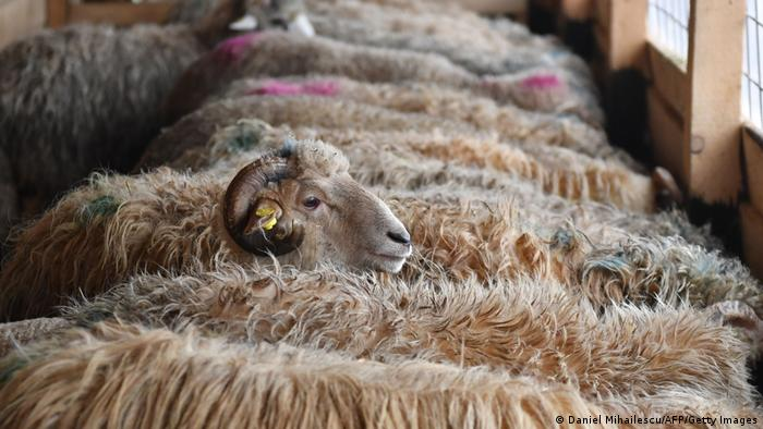 Sheep packed tightly together on a ship