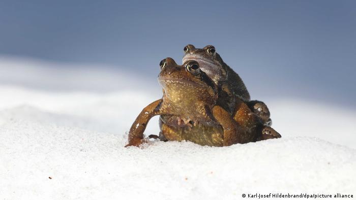 Deutschland BdT   Amphibienwanderung im Schnee