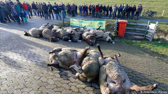 Schäfer empfangen Minister mit Schaf-Kadavern als Protest gegen zu wenig Schutz vor Wölfen