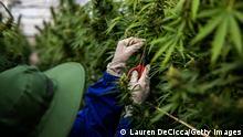 Thailand Anbau von Cannabis zu medizinischen Zwecken