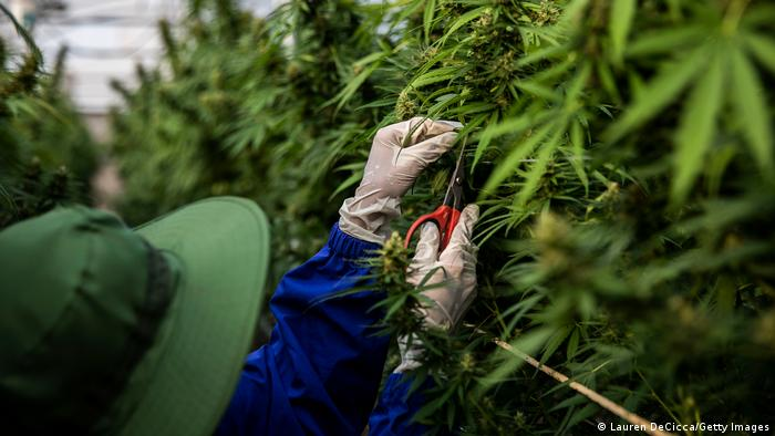 Greenhouse workers growing marijuana in Thailand, where farming the plant for medicinal use is allowed