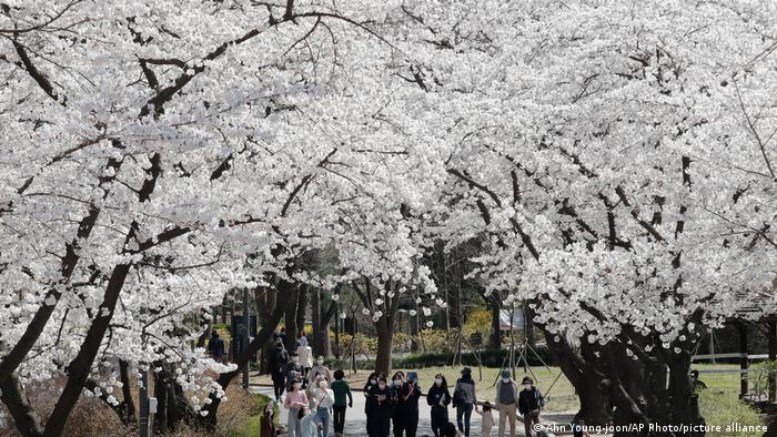 Grandes cerejeiras com muitas flores brancas. Pessoas com máscaras caminham entre elas.