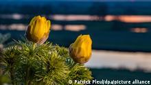 BdT Adonisröschen blühen im Morgenlicht