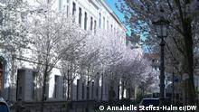 Bonner Kirschblüte 2021