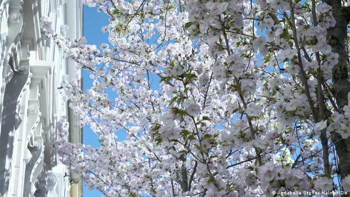 Цвітіння сакур у Бонні