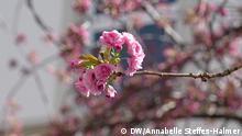 Bonn Altstadt Kirschblüte 2021