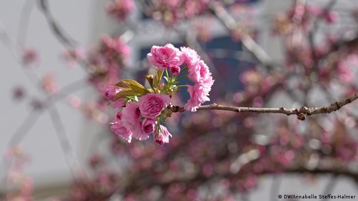 Цвітіння сакури в Бонні