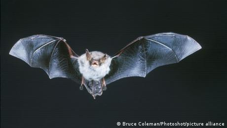 A Natterer's bat with wings extended