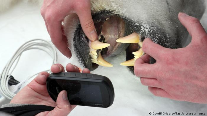 Researchers examine a polar bear's jaw