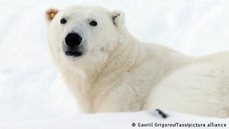 A polar bear lying in the snow