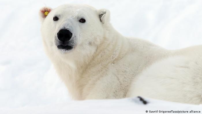 A polar bear with an ear tag