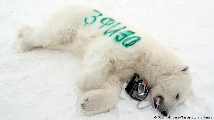 An anesthetized bear lying in the snow on Franz Joseph Land in the Arctic Ocean