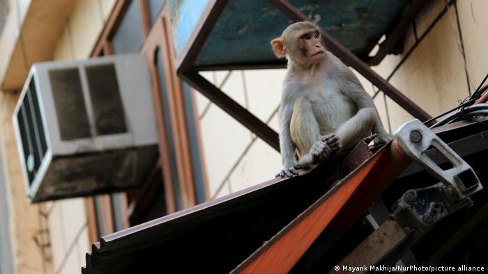 Monkey in New Delhi
