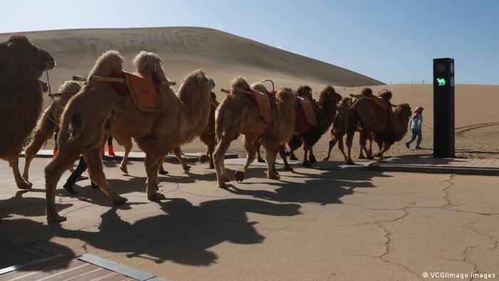 Ovo je po svemu sudeći prvi semafor za kamile na svetu – bar tako tvrde u Kini. Postavljen je na šetalištu kod Dunhuanga, grada-oaze okruženog peščanim dinama u provinciji Gansu. Ovaj grad je nekad bio na starom Putu svile, a kamile su do danas ostale atrakcija za turiste. Semafor bi trebalo da isključi mogućnost sudara dvogrbih životinja i šetača.