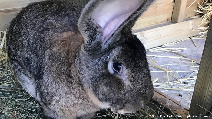 Darius, the giant bunny