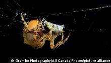 Kanada Echte Radnetzspinnen