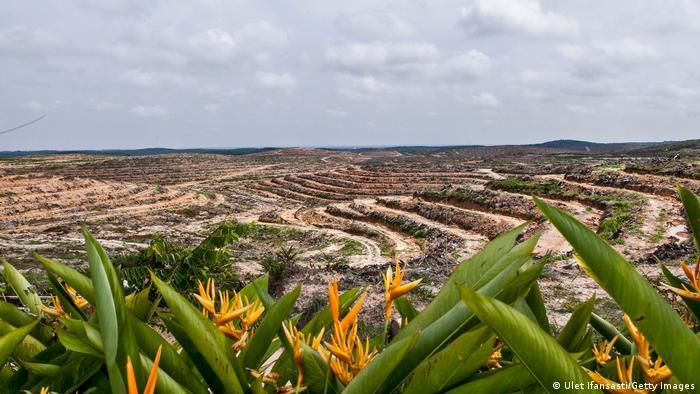 Plantación de palma aceitera en Sumatra.