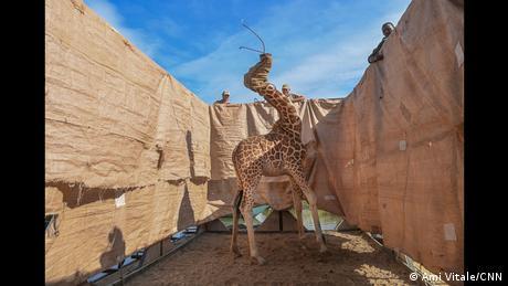 World Press Photo Contest 2021: Girafa cercada por uma cerca de tecido em imagem de Ami Vitale, vencedora na categoria Natureza.