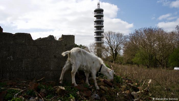 Goat, Bristol, BT Tower, UK