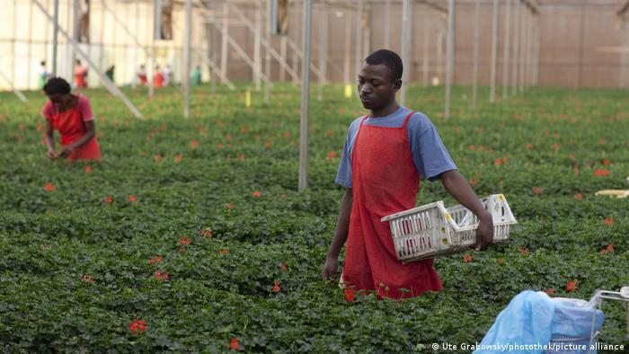 A young man picks flowers at a flower farm in Uganda