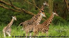Kenia Rothschild Giraffe