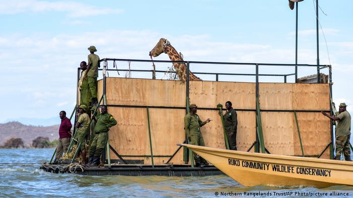A Rothschild's giraffe is transported on a barge to from Longicharo island to Ruko Community Conservancy