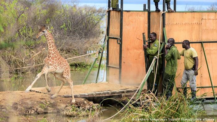 Giraffe calf Noella runs from a crate