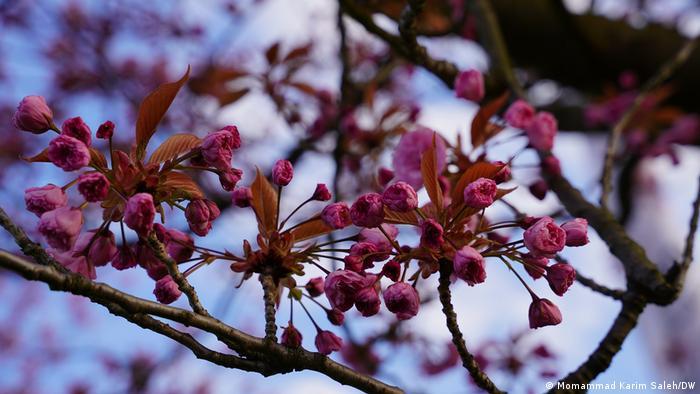 Bonn   Kirschblüte