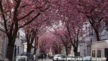 Bonn | Kirschblüte