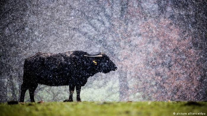 Azijski vodeni bivo potiče iz krajeva gde ima omorine i monsunskih kiša, ali i himalajskog snega. Ovaj na slici mora da se zadovolji prolećnim pahuljama na Švapskom Albu, na jugoistoku Nemačke. Barem ima trave za ispašu.