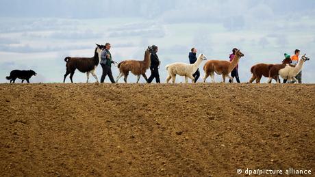 Семейная прогулка с ламами и альпаками в баден-вюртембергском Вальдхаузене