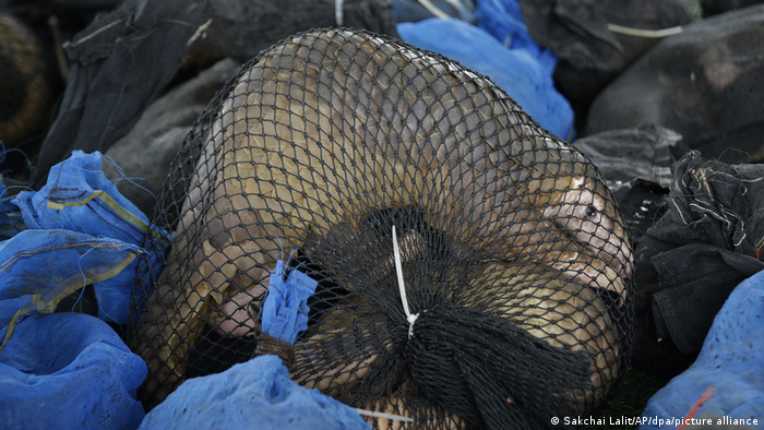 A pangolin in a net