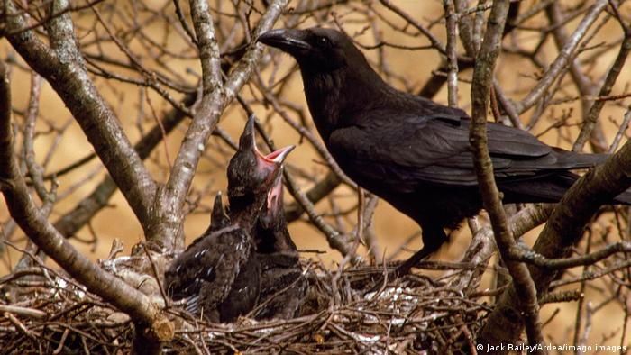 Raven mother watching over chicks in nest