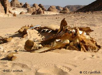 The remains of a camel