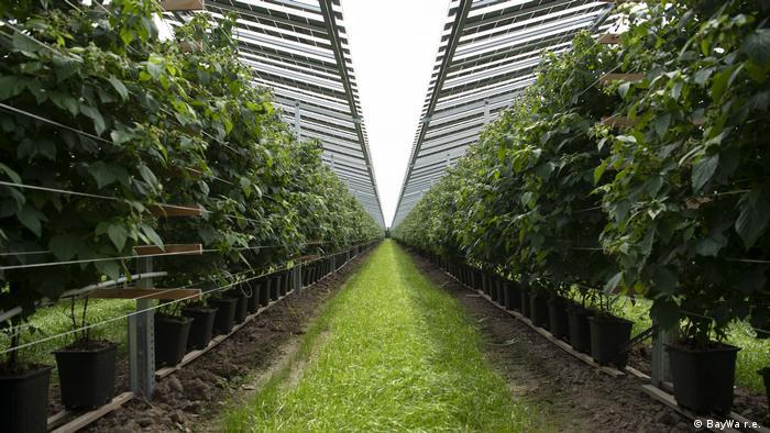 Beerenplantage in den Niederlanden unter einem Glasdach mit Solarmodulen