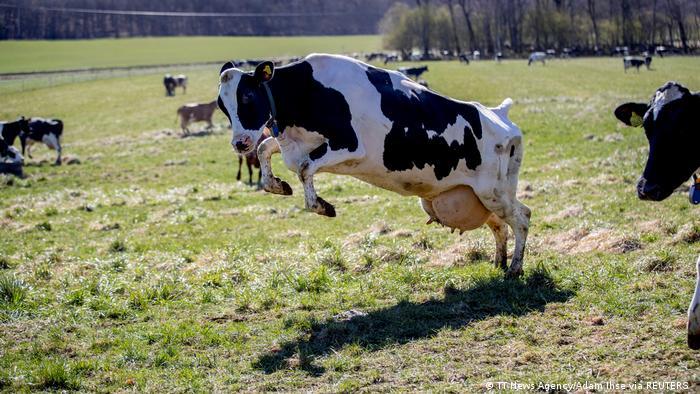Krava domaća uhvaćena kamerom u Švedskoj, kako skače od sreće - pošto je posle pola godine u štali konačno napolju, na svežem vazduhu, i sve što uz to ide. Voli pitoma krava što ima krov nad glavom ali voli i livadu - ostalo joj u genima.
