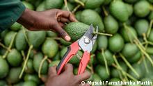 A farmer harvests avocados.