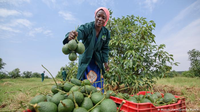 La ferme Musubi vise une production d'un quart des avocats de l'Ouganda, le reste étant l'œuvre de petits producteurs