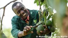 Uganda | Avocadoanbau auf der Musubi Farm